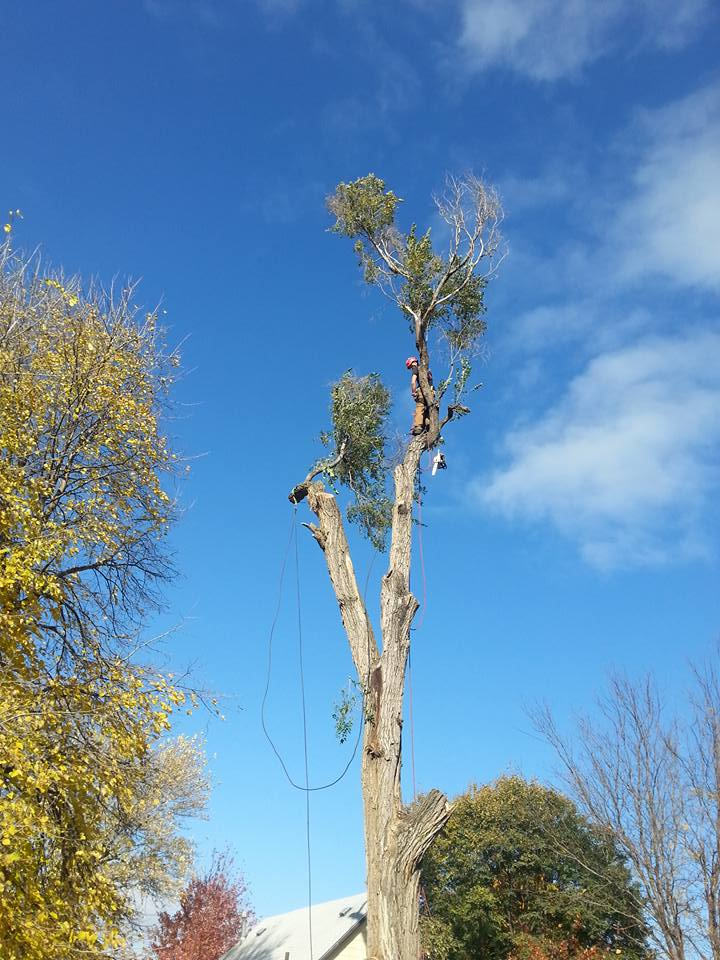 tree service in lincoln nebraska elm 6.jpg