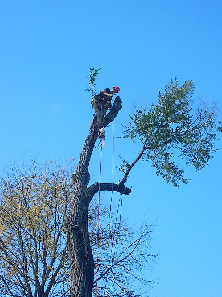Tree Service in lincoln nebraska elm 5.jpg
