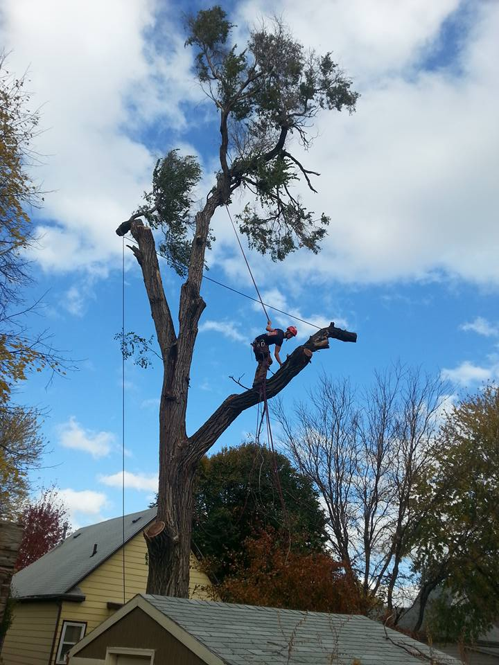 Lincoln Tree Service Elm1.jpg