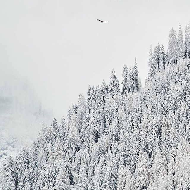 #winter #eagle and #trees . #kaunertal #tirol #visittirol