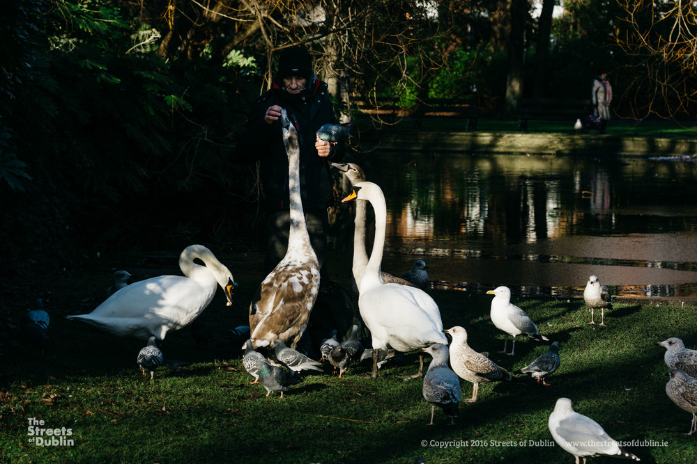 Man feeding Swans and Seagulls in Stephen's Green - The Streets of Dublin