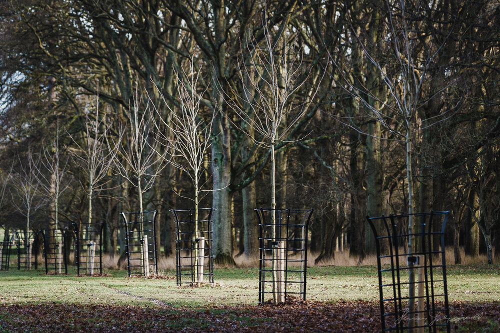 A line of Trees in the Phoenix Park in Dublin