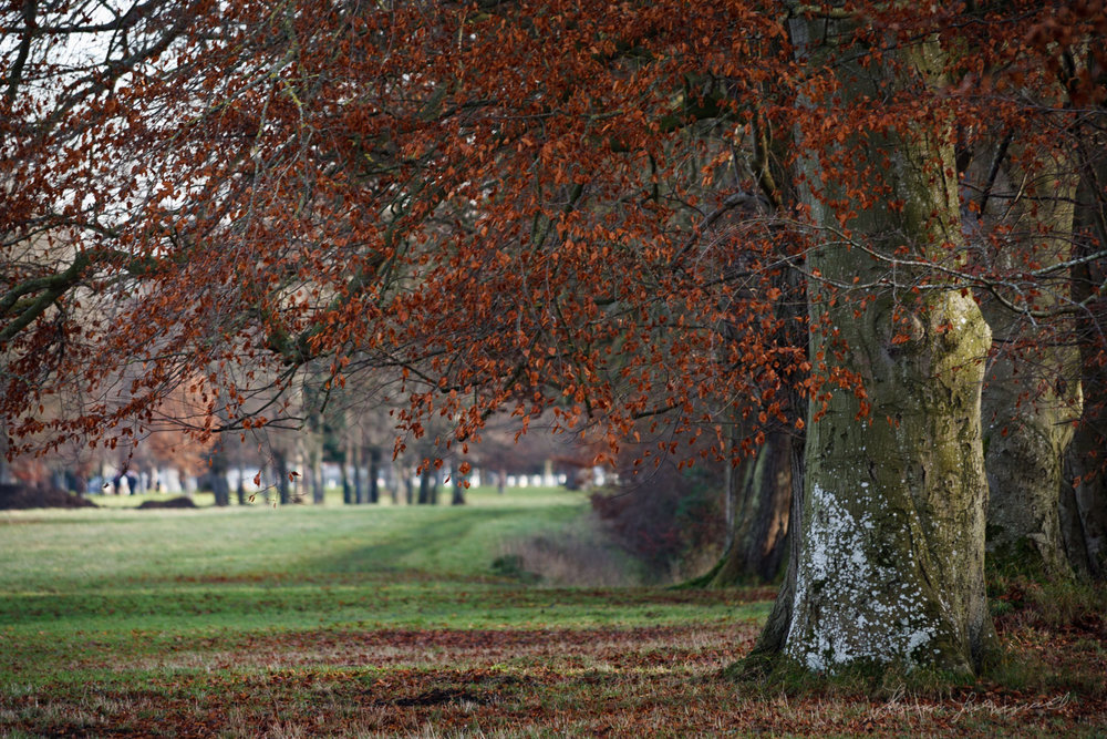 Red Leaves in the Phoenix Park in Dublin
