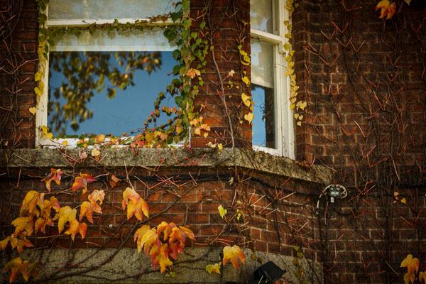 Autumn ivy around a window