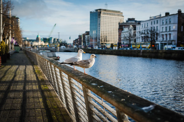 Seagulls hanging out on the Boardwalk along the liffey in Dublin
