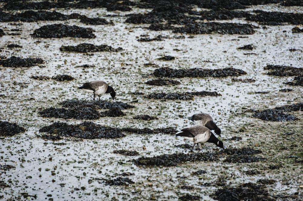 Birds pecking in the mud