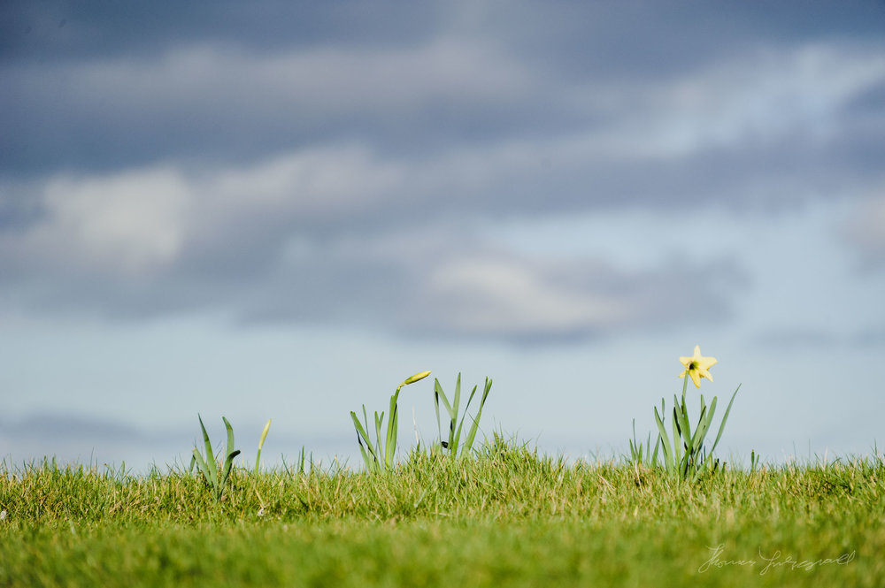 Daffodils on the grass in Malahide