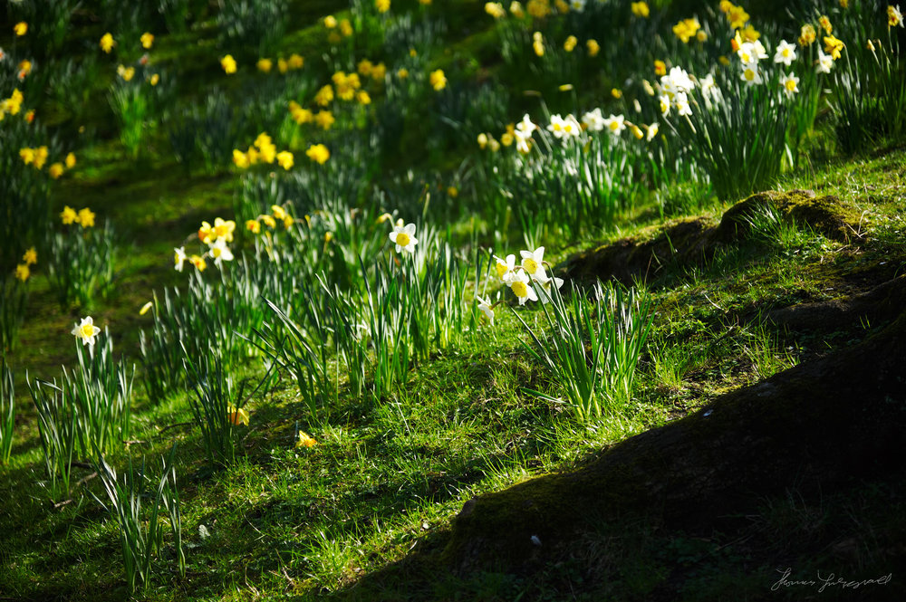Lots of daffodils growing on a little hill in a Dublin Park