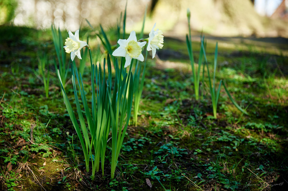 White Daffodils with bright green stems and a light yellow flower.