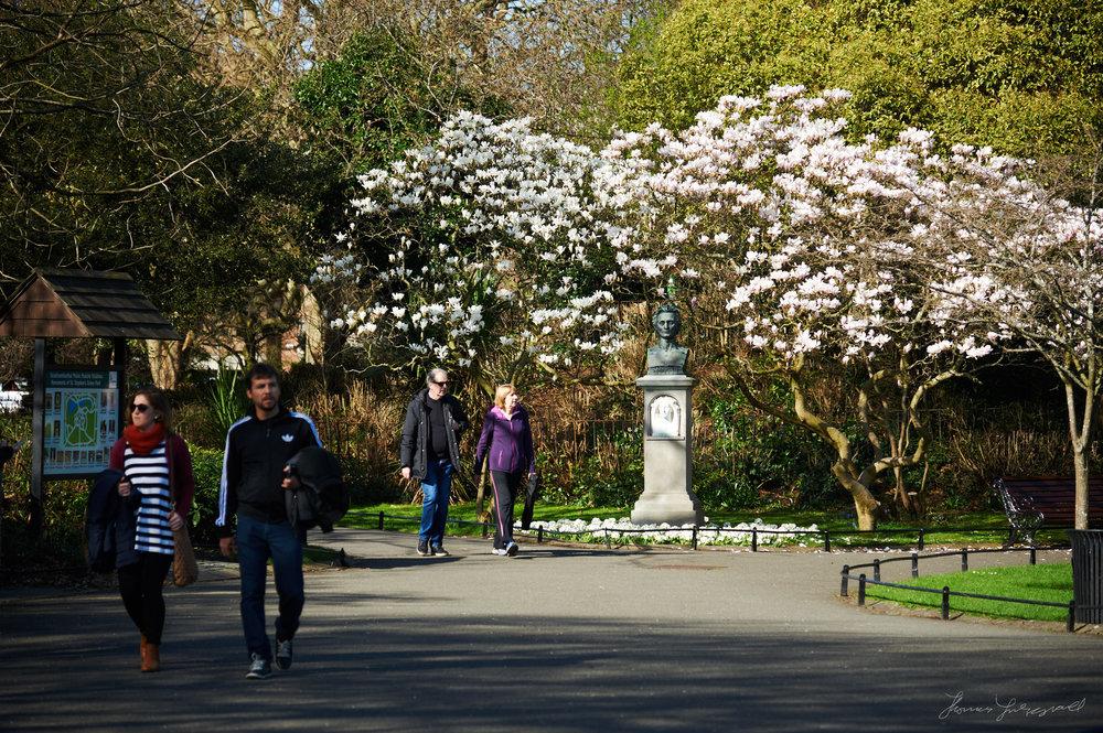 Magnolia flowers blooming