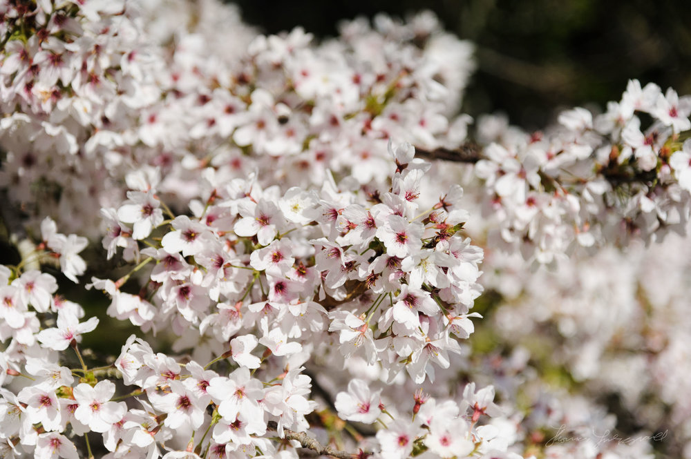 Cherry Blossoms at the Botanic Gardens