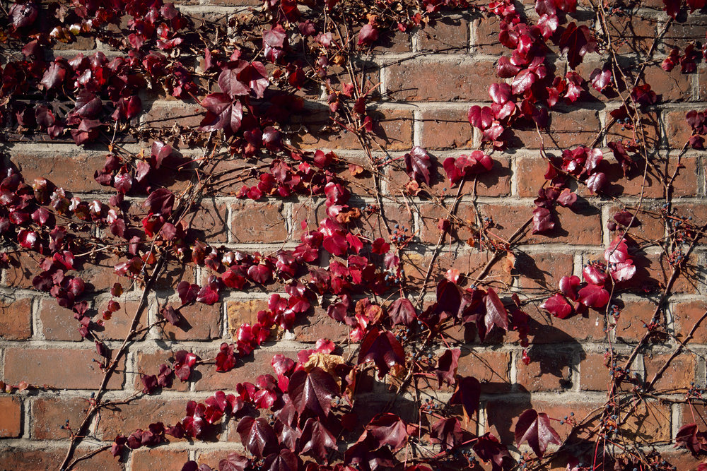 Red Ivy on a red bricked building