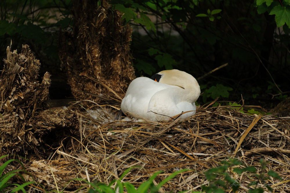 nesting swan in herbert park