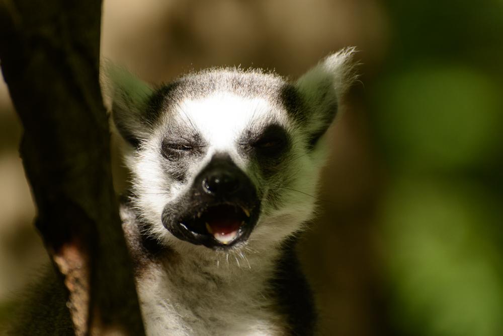Lemur Center-3