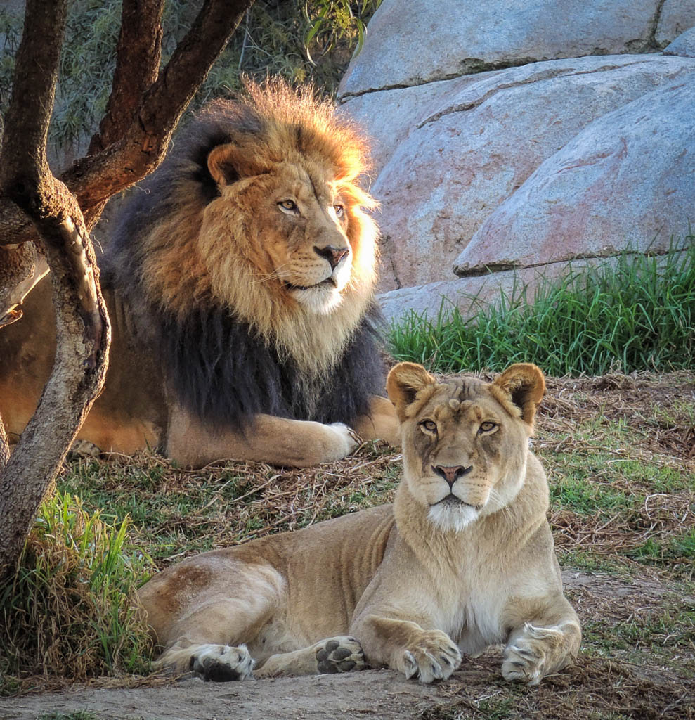 Lions with Clarity After