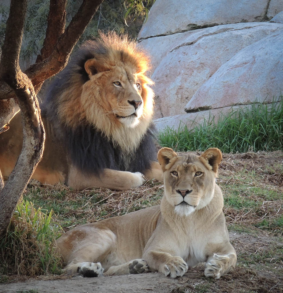 Lions with Clarity Before