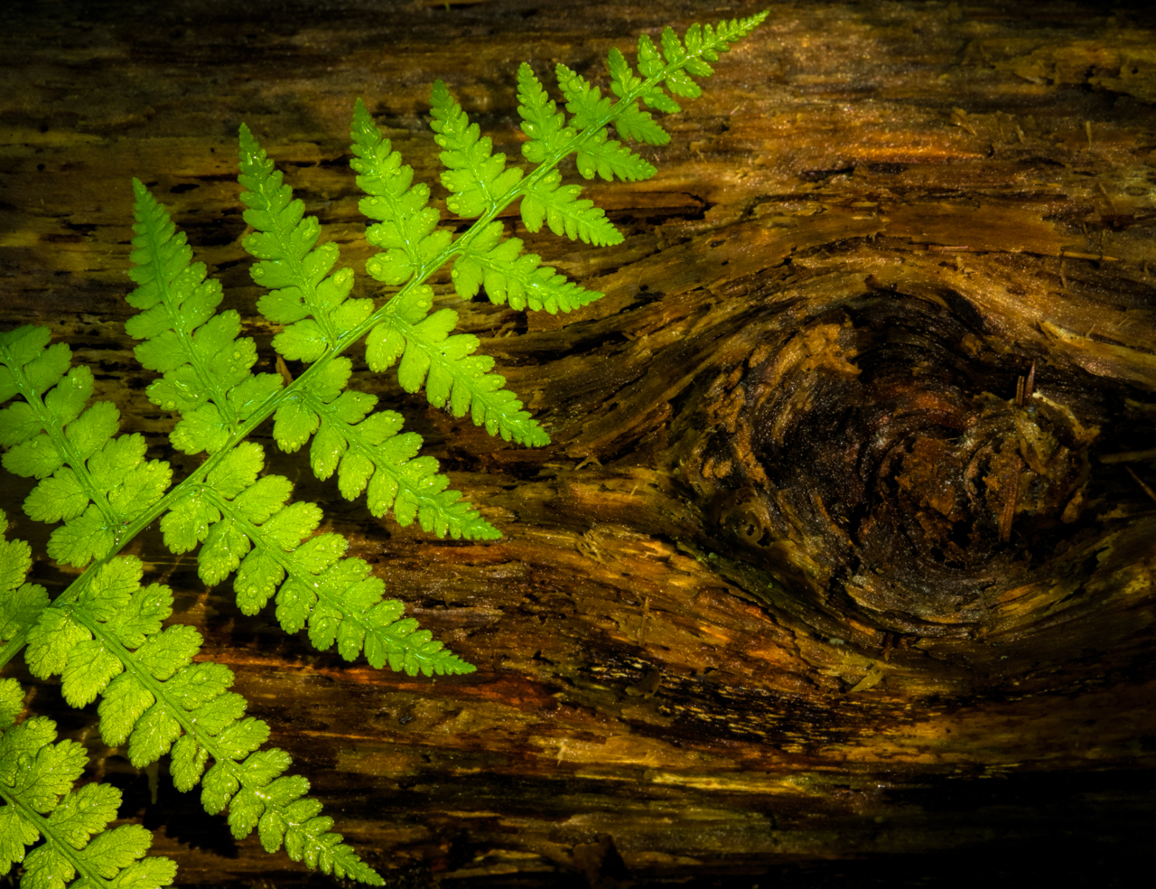 HoH Forest fern