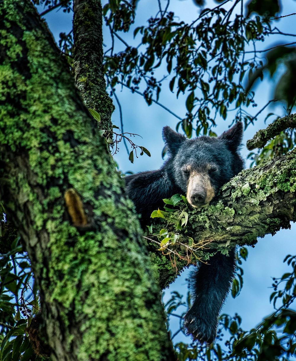Black bear in the tree