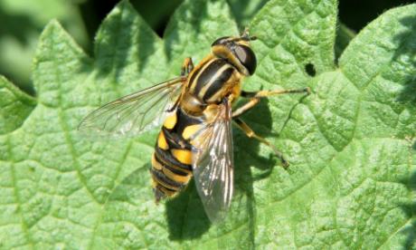 Hoverfly (Chrysotoxum Elegans)