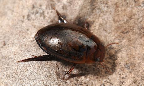 Water Beetle (Agabus Brunneus)