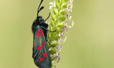 Moth (Zygaena Filipendulae)