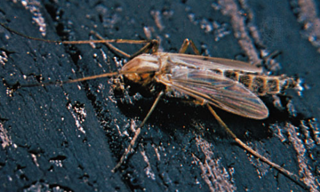 Midges (Chironomidae)