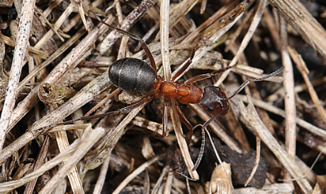 Ants (Formica Exsecta)