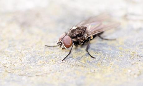 Fly (Musca Domestica)