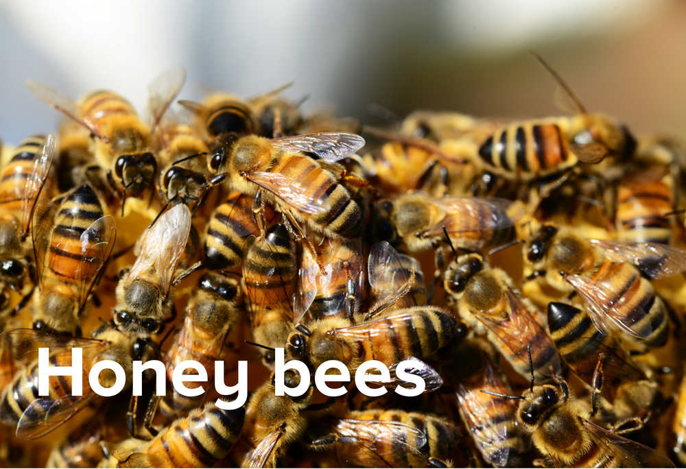 honey bees.jpg