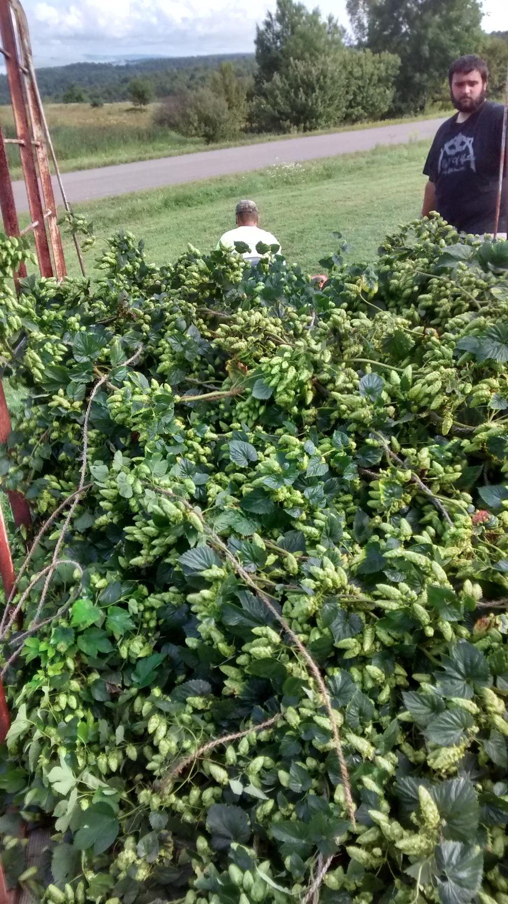 2015 Hop Harvest