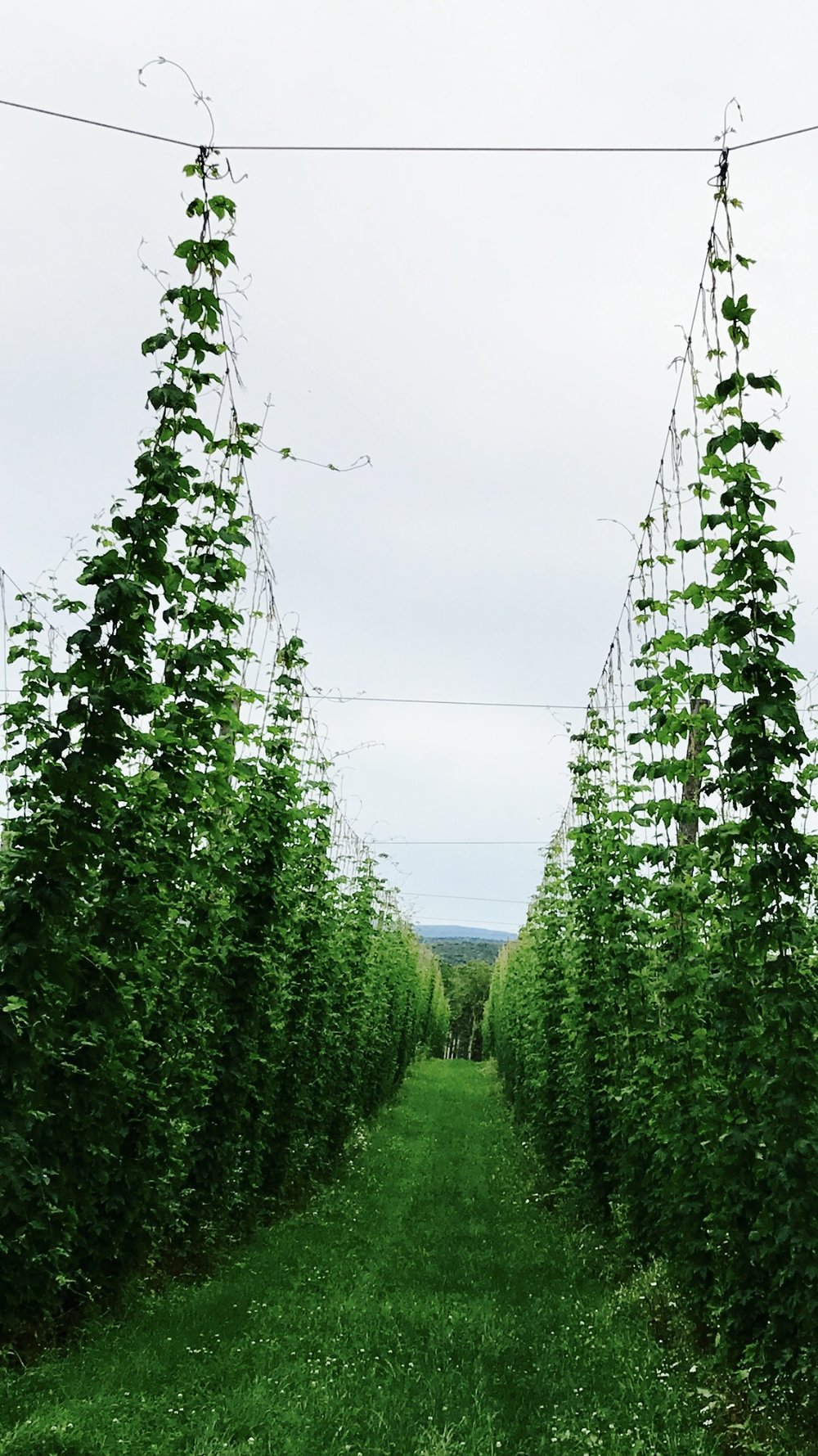 Newport hops - June 2017