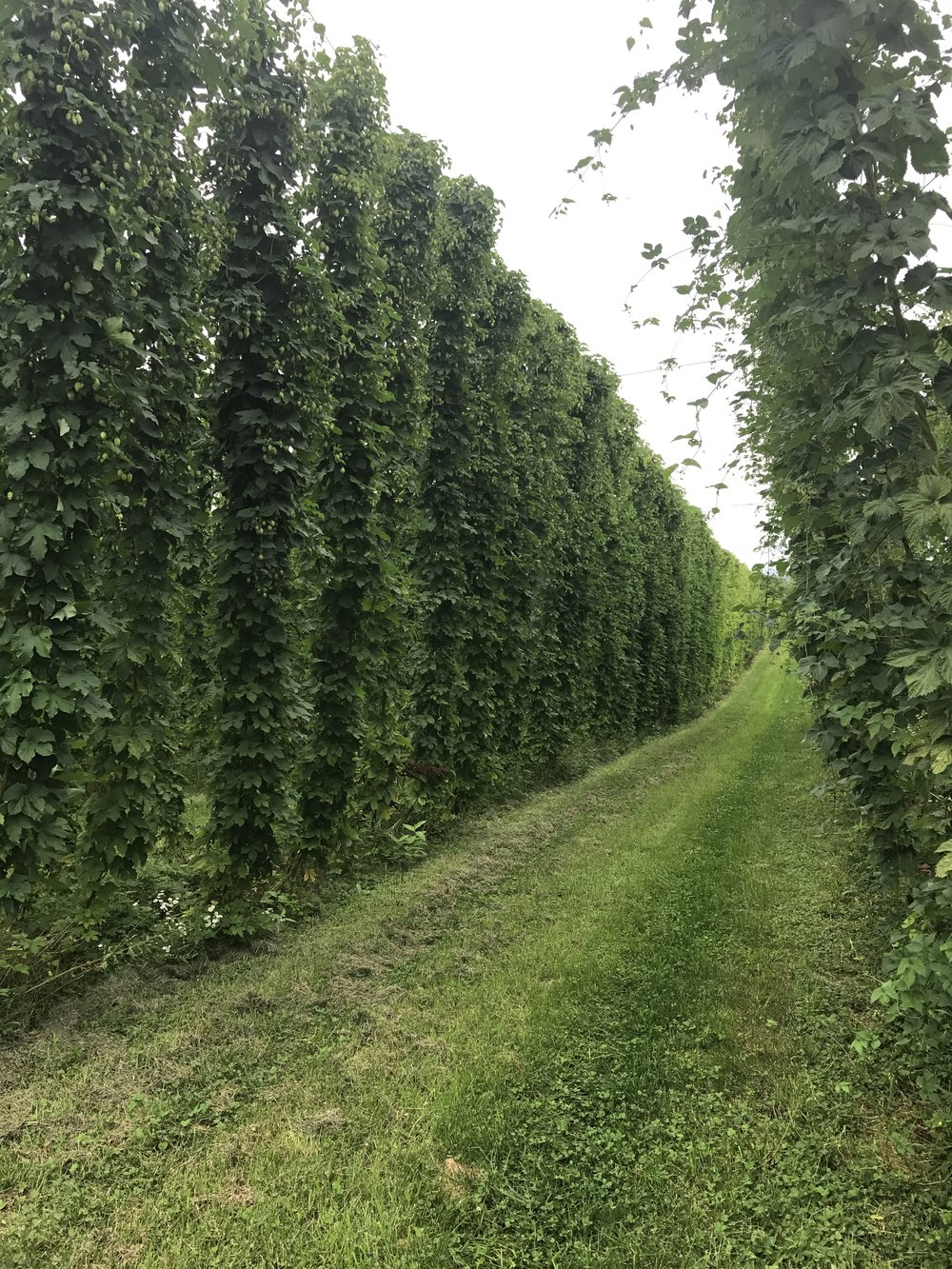 August 2017 ~ Harvesting the hops is a few shorts weeks away!