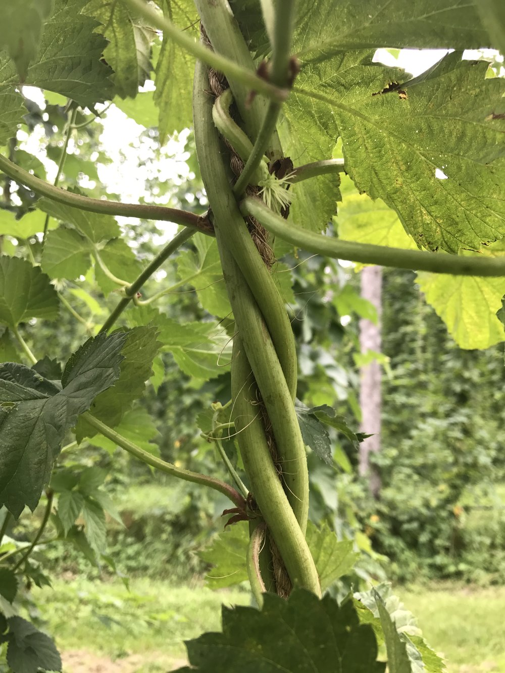 August 2017 - Hop Bine, so strong!!!!  Climbing, climbing, climbing to the wire!