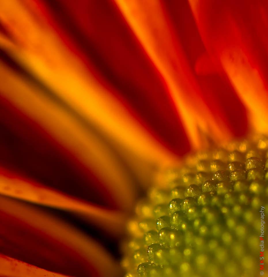 Sunrise daisy