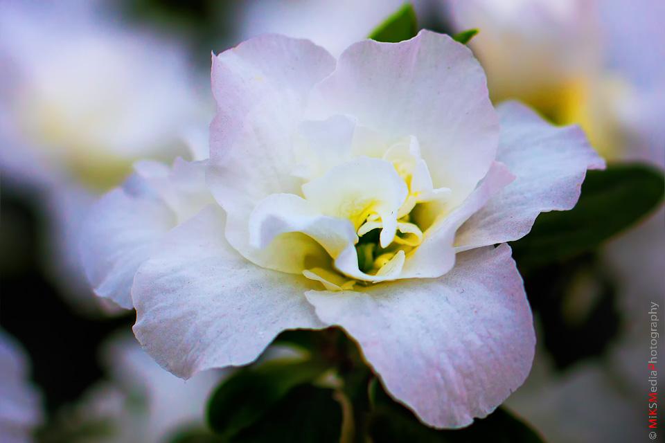 Blushing azalea