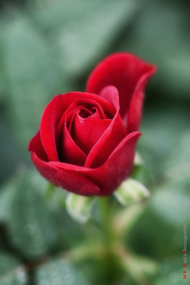 Portrait of a red rose