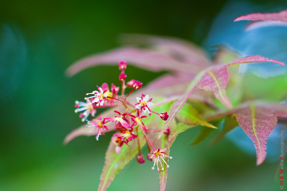 Japanese maple bloom