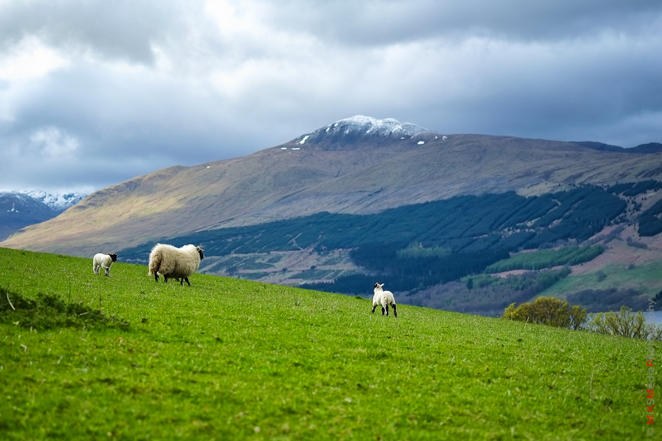 highland sheep scotland mountain
