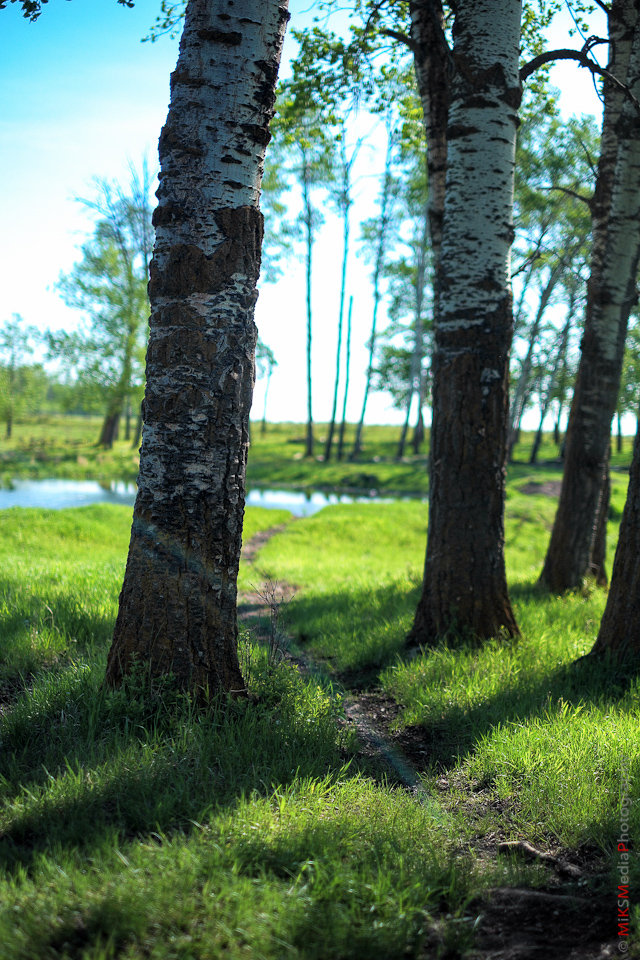 birch tree green grass alberta photography