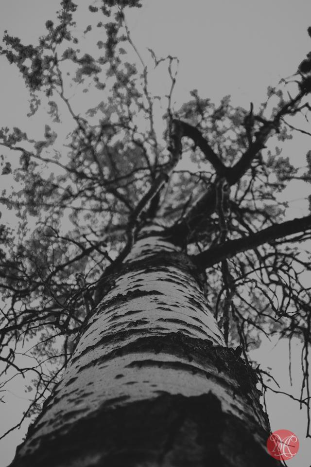 tree birch jasper nature photography