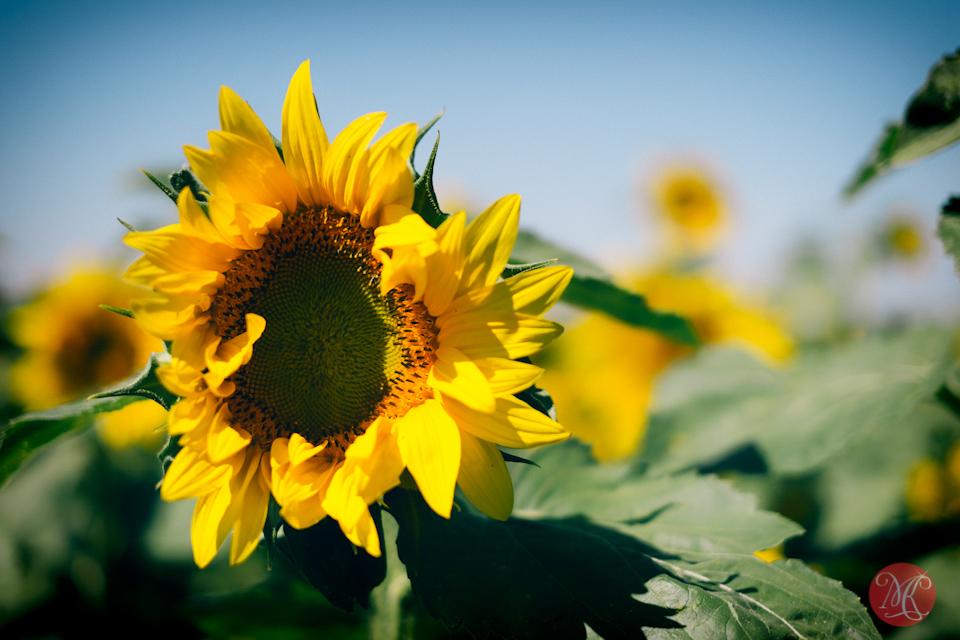 sunflower alberta bowden sunmaze landscape