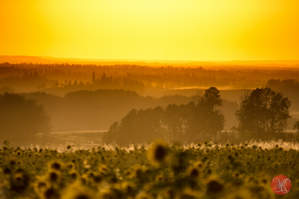 sunset alberta landscape field sunflowers