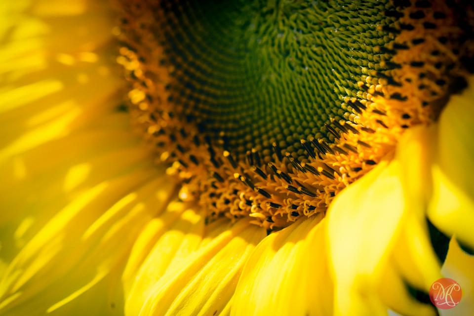alberta landscape maze bowden sunflower