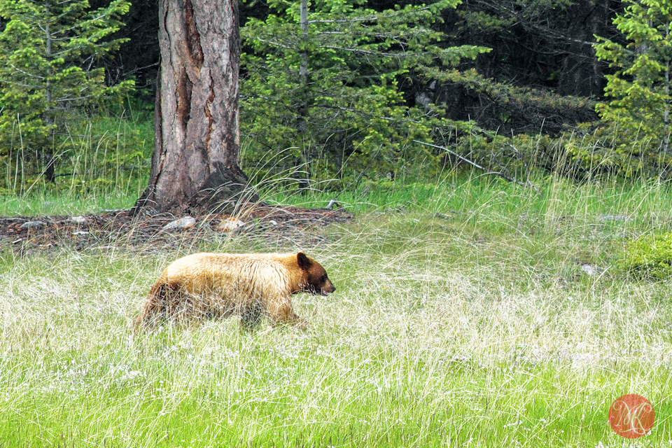 grizzly bear jasper nature wildlife