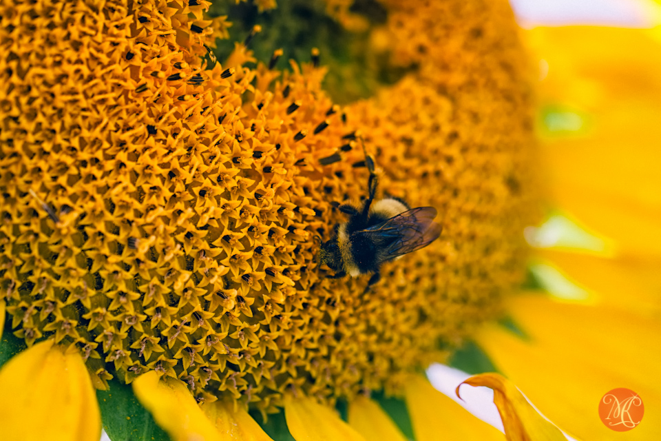 macro sunflower bee alberta nature