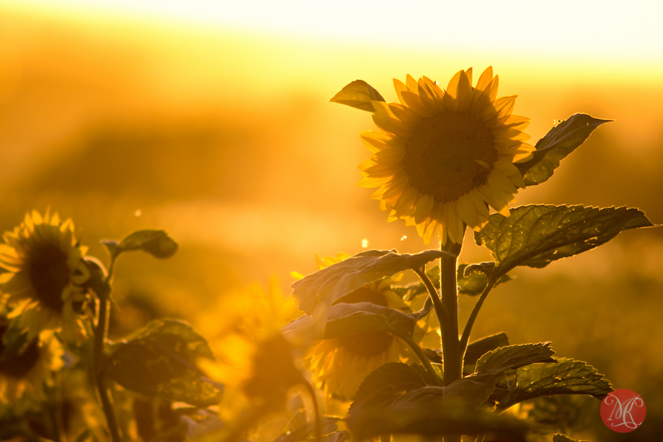 sunflower sunset alberta bowden landscape photography