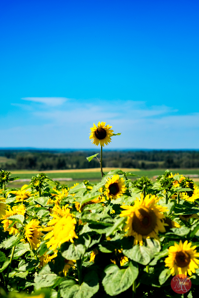 landscape alberta sunflower maze photographer