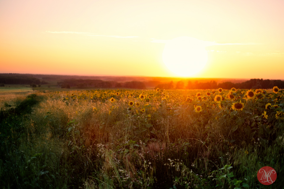 sunset alberta landscape nature sunflower