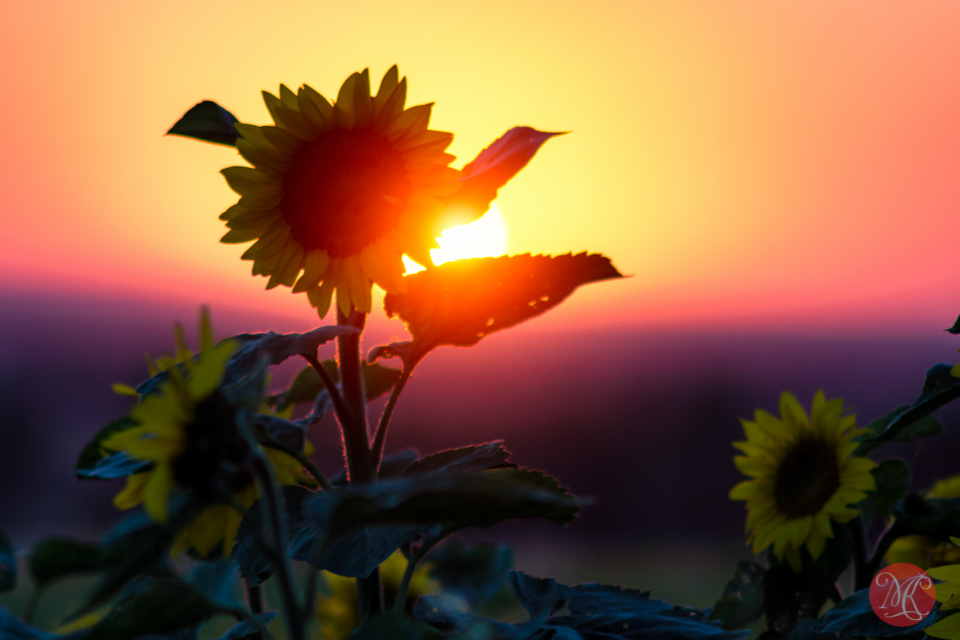 sunset alberta sunflower bowden photography