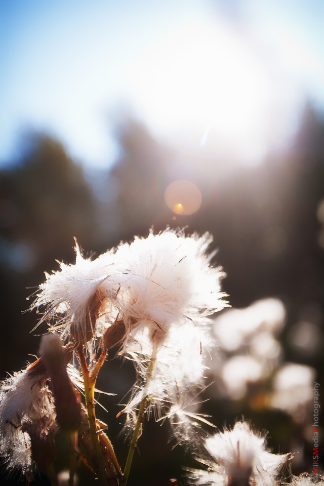 morning dew flower field edmonton alberta